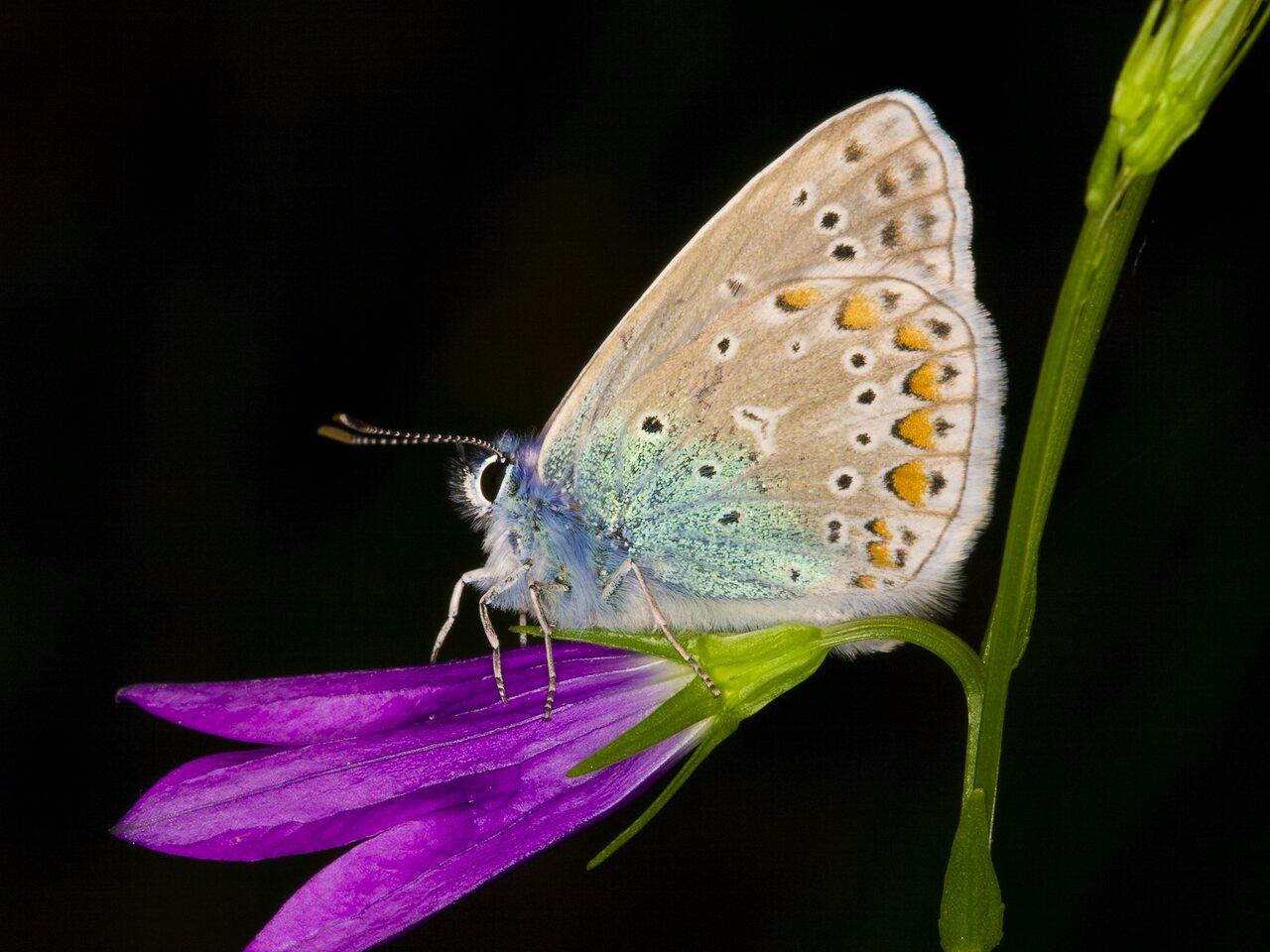 Polyommatus-amandus-3296.jpg