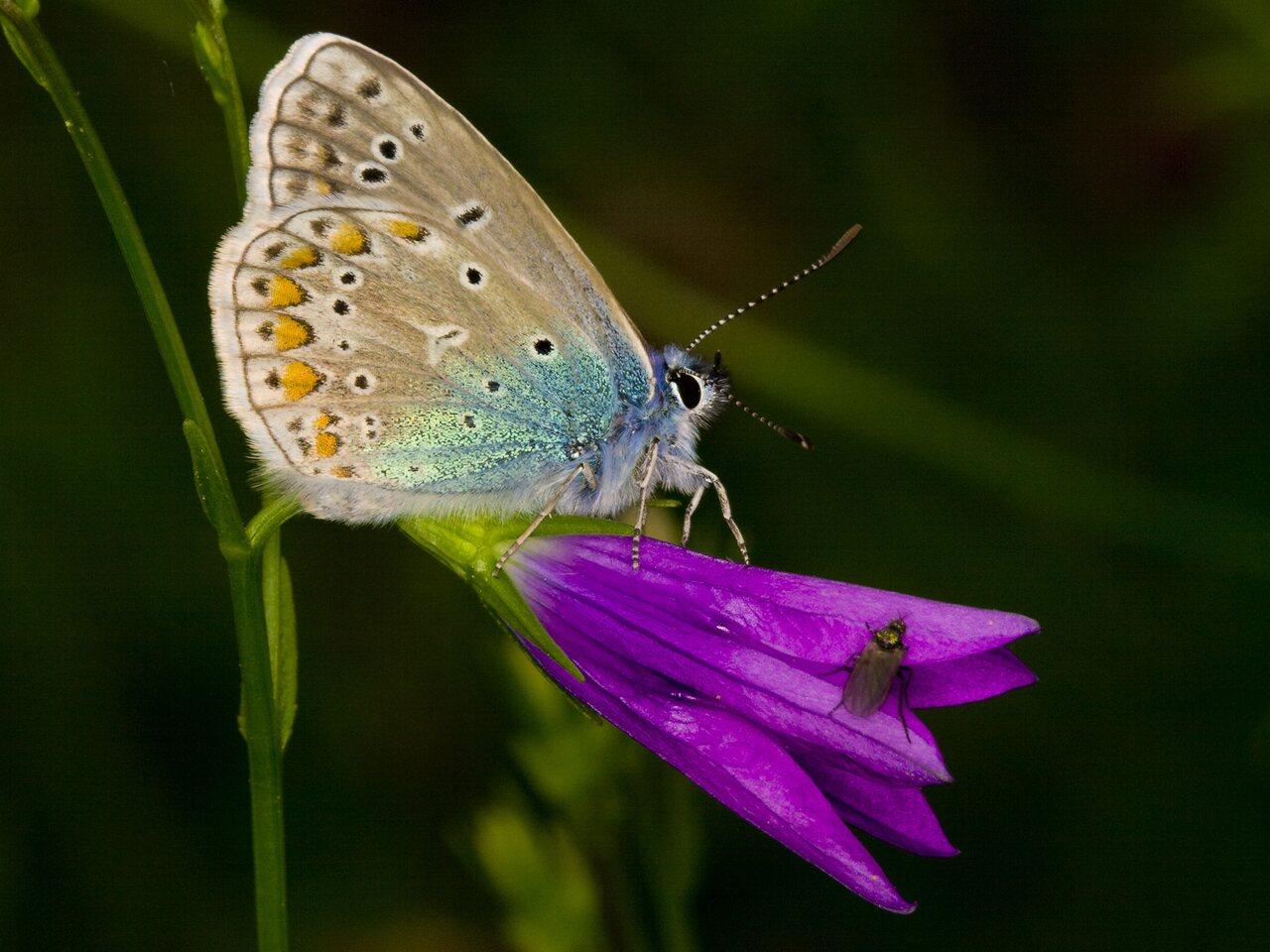 Polyommatus-amandus-3298.jpg