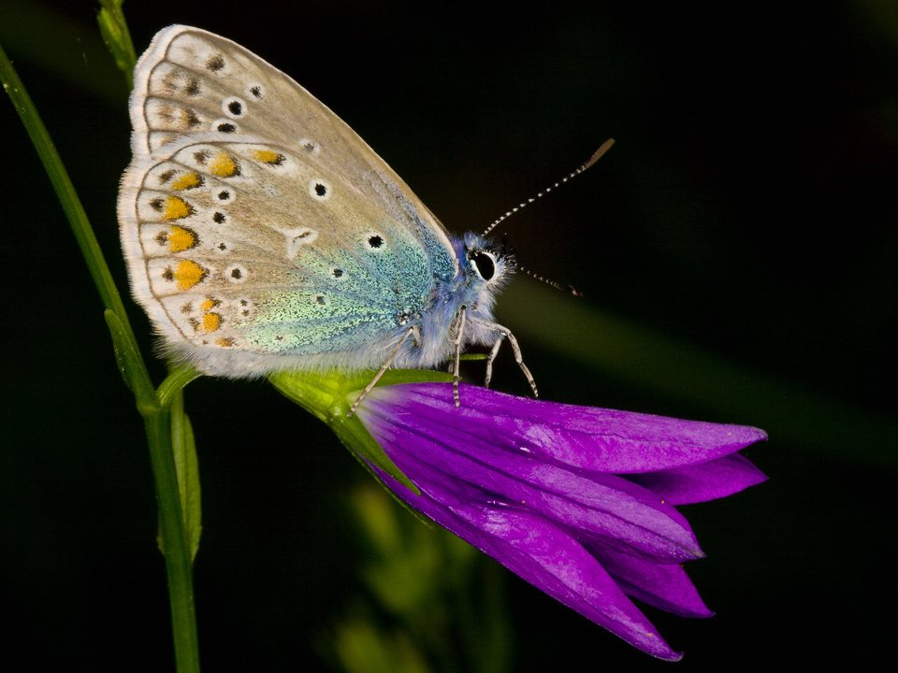 Polyommatus-amandus-3299.jpg