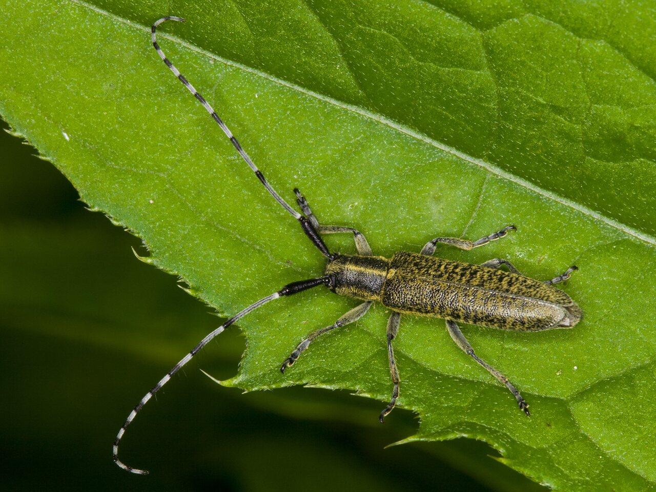 Agapanthia-villosoviridescens-3301.jpg