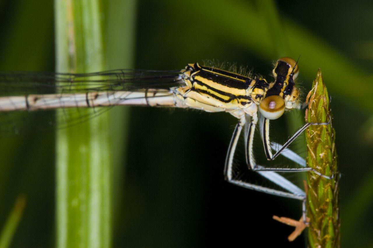 Platycnemis-pennipes-3314.jpg