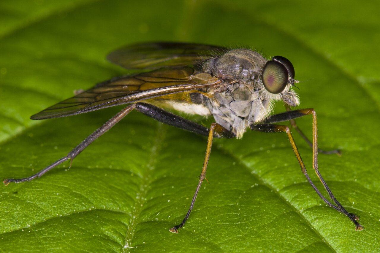 Rhagionidae-3317.jpg