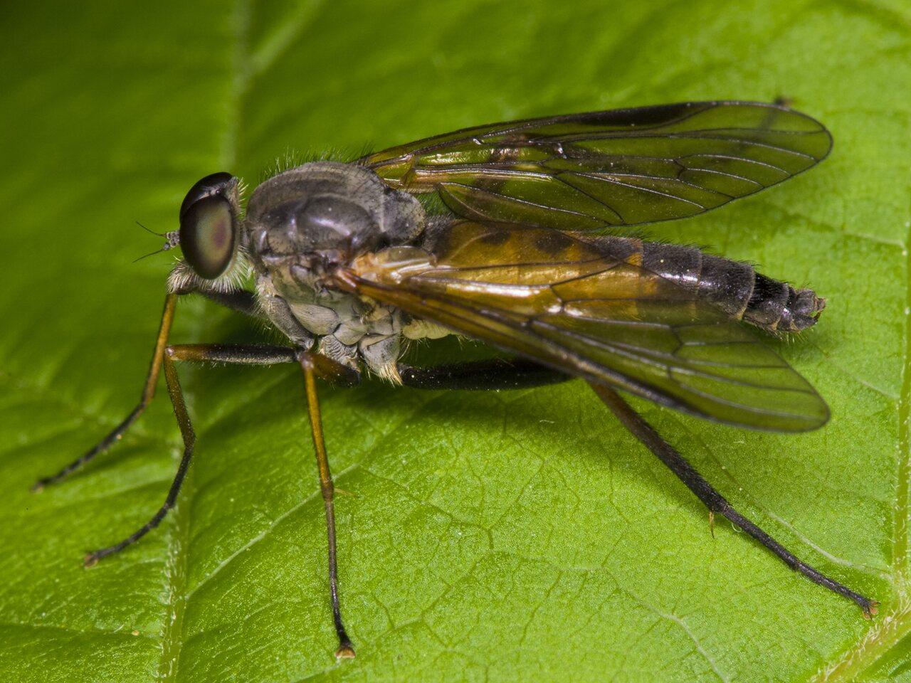 Rhagionidae-3318.jpg