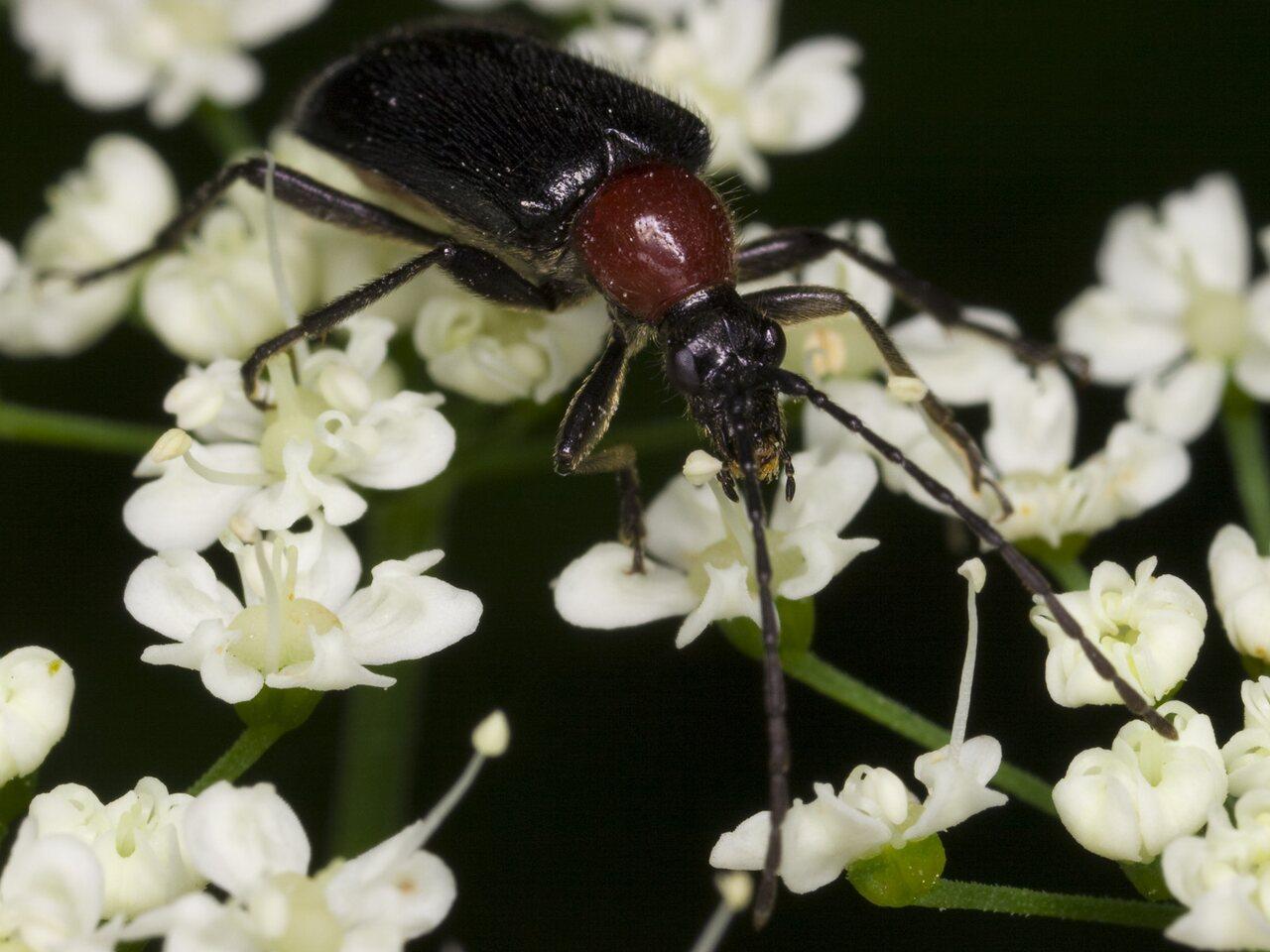 Dinoptera-collaris-3324.jpg
