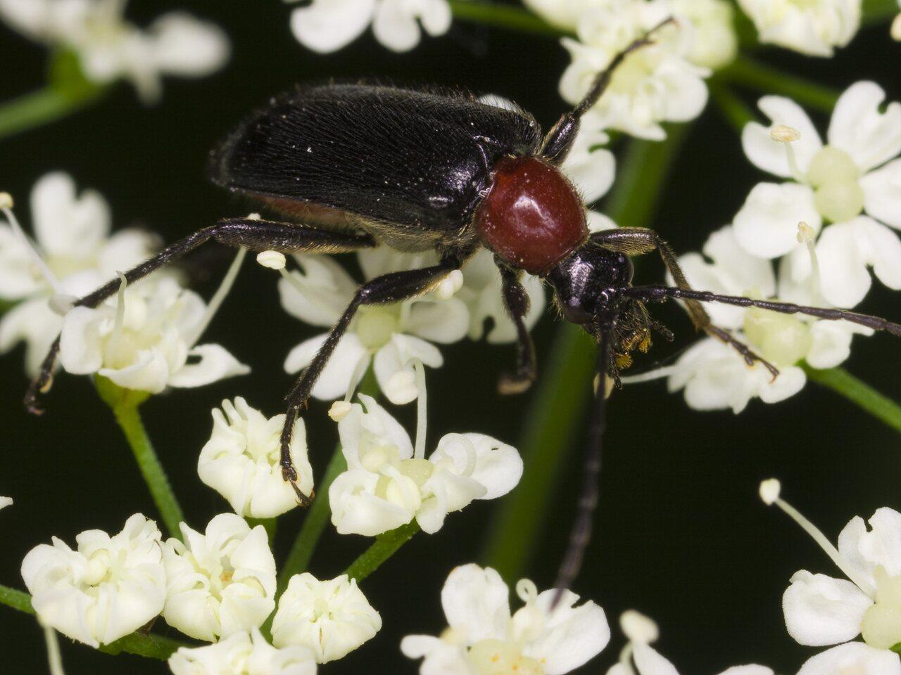 Dinoptera-collaris-3326.jpg