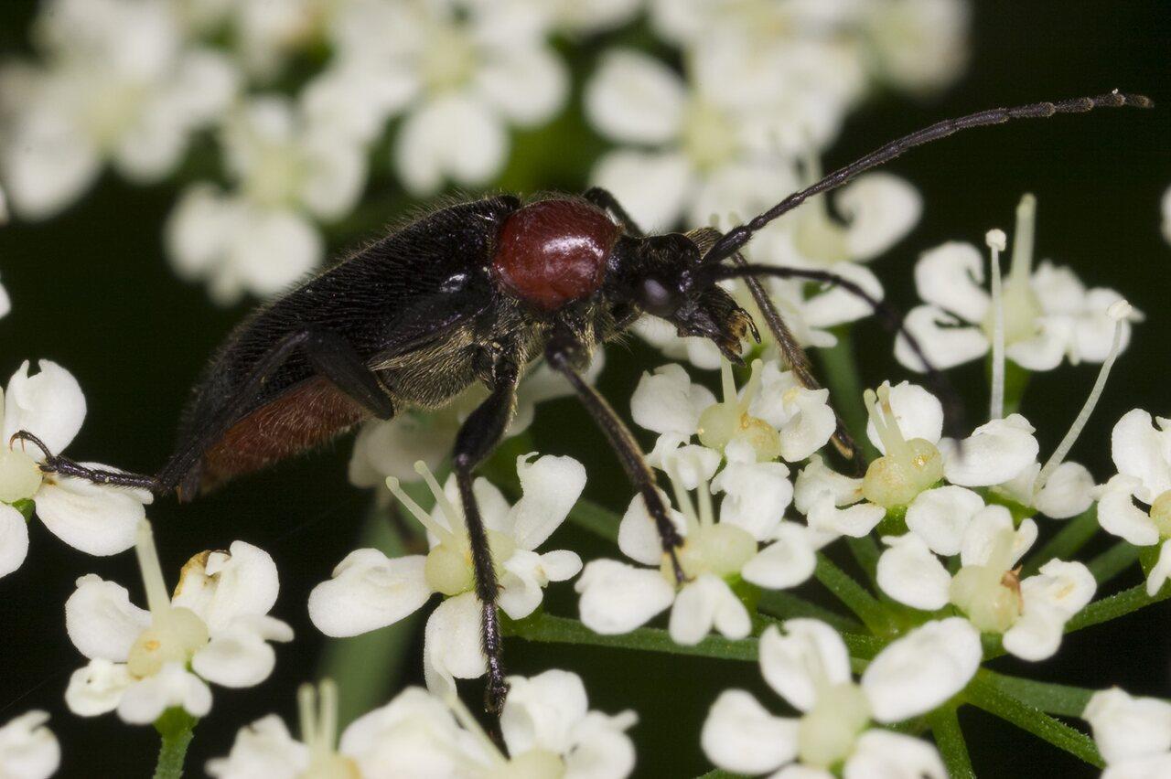Dinoptera-collaris-3334.jpg