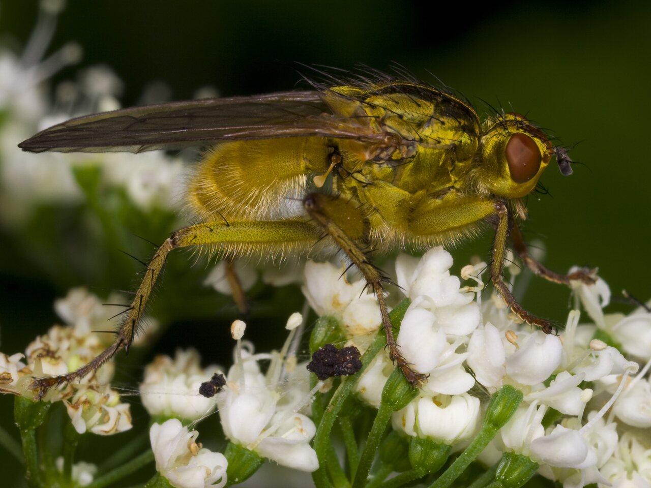Scathophaga-stercoraria-3338.jpg