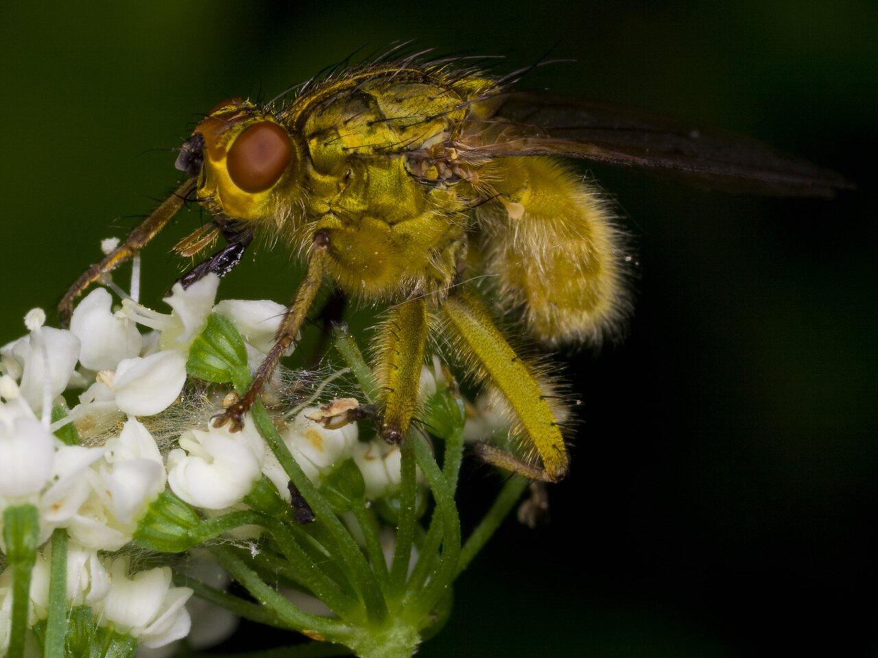 Scathophaga-stercoraria-3339.jpg