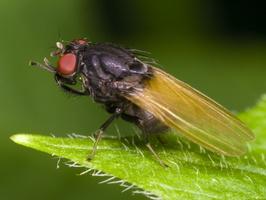 Diptera 3341