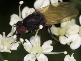 Diptera 3343
