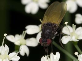 Diptera 3344