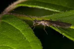 Plecoptera · ankstyvė