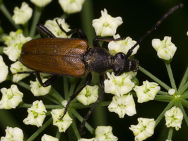 Paracorymbia maculicornis · leptura