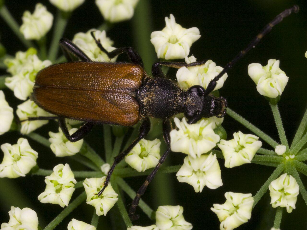 Paracorymbia-maculicornis-3357.jpg