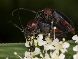 Dinoptera collaris mating · ąžuolinis žievininkas poruojasi