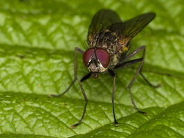 Diptera 3365