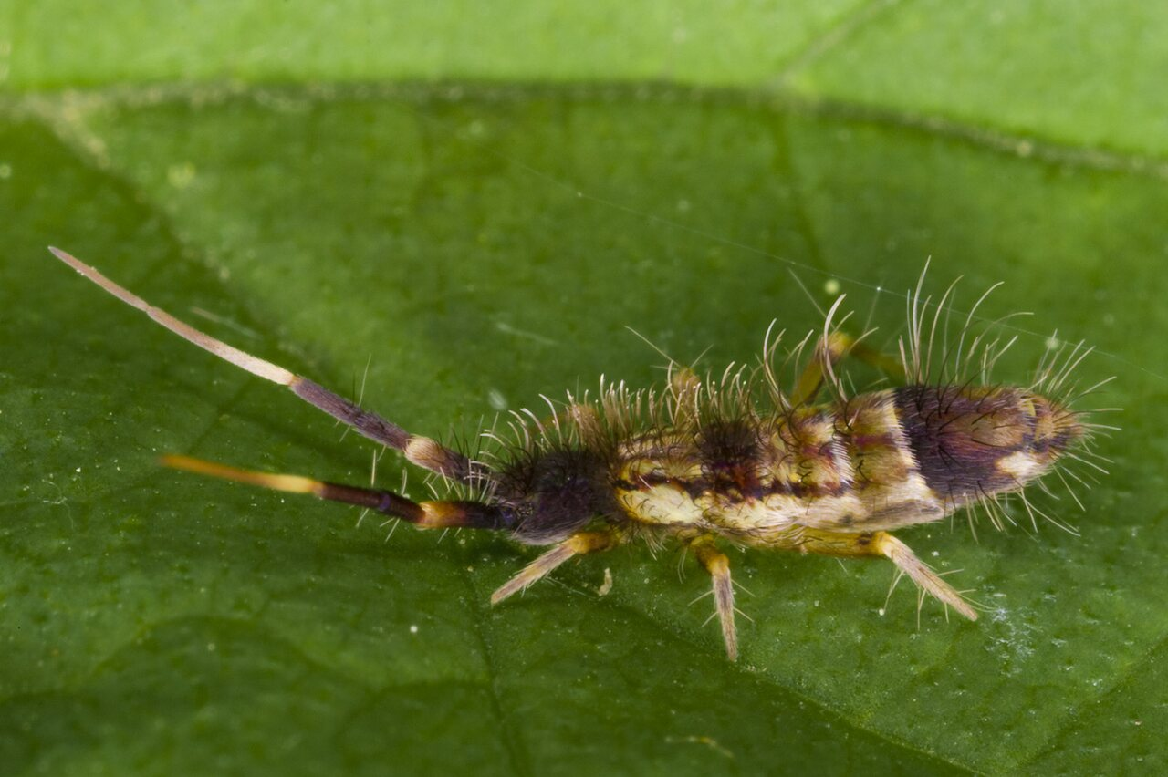 Orchesella-flavescens-3370.jpg