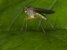 Dolichopodidae · ilgakojės muselės