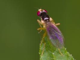 Diptera 3379