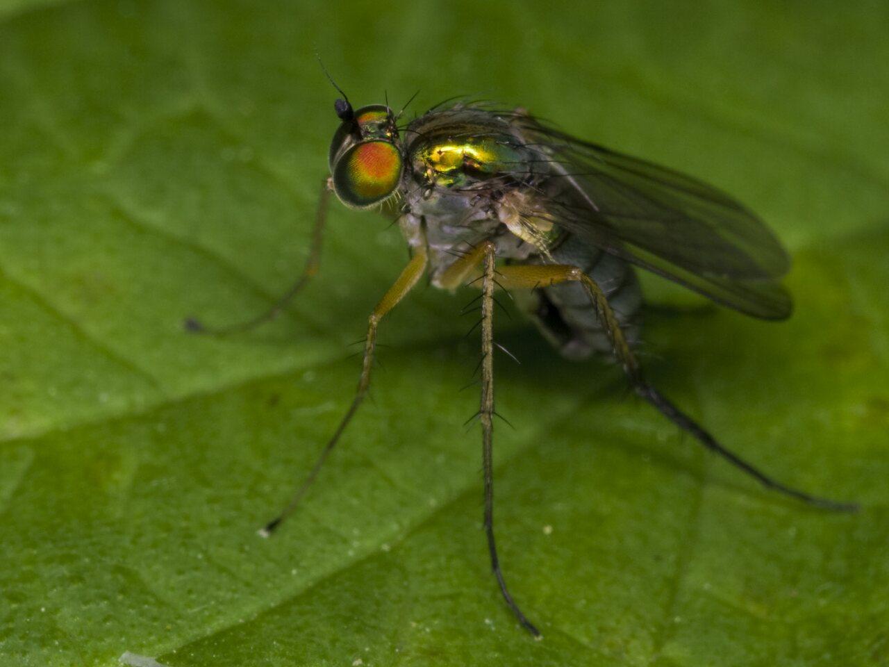 Dolichopodidae-3383.jpg
