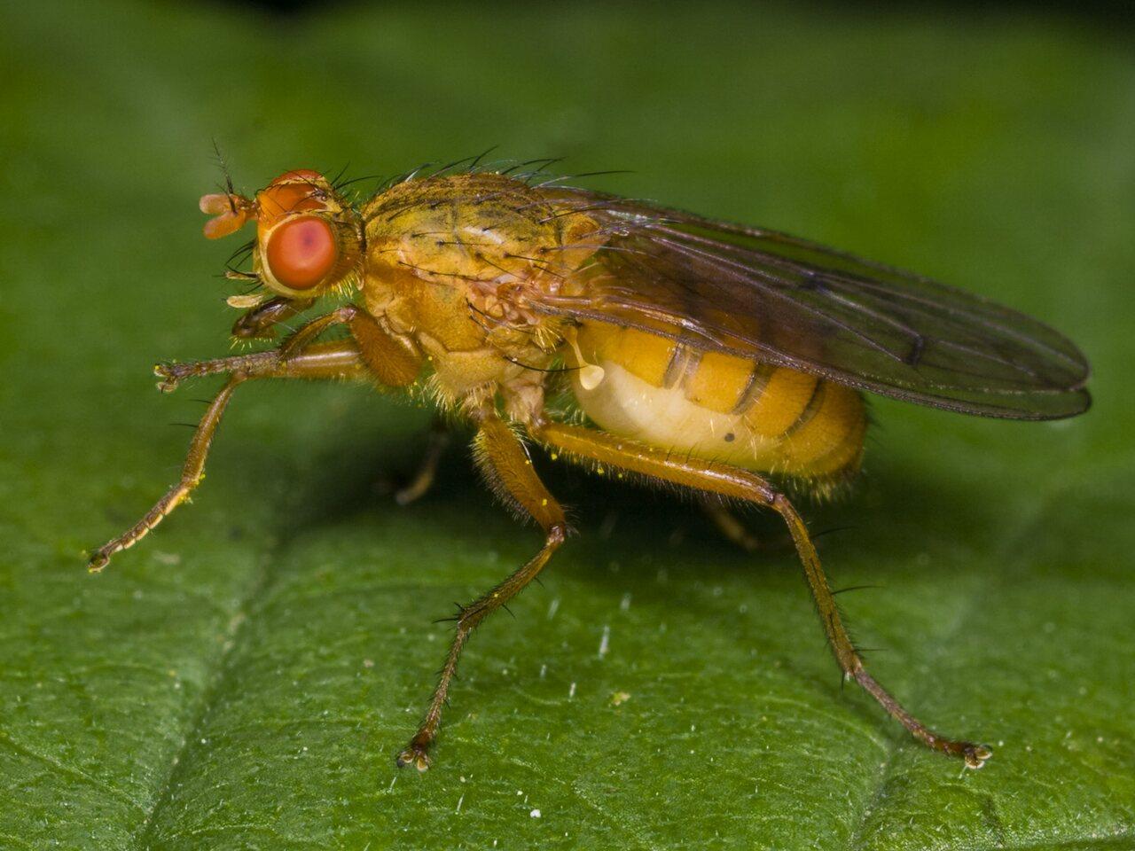 Diptera-3385.jpg