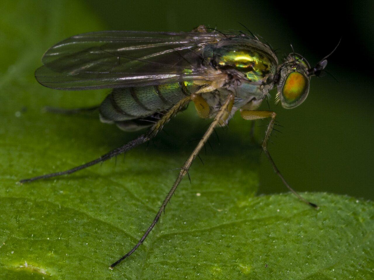 Dolichopodidae-3387.jpg