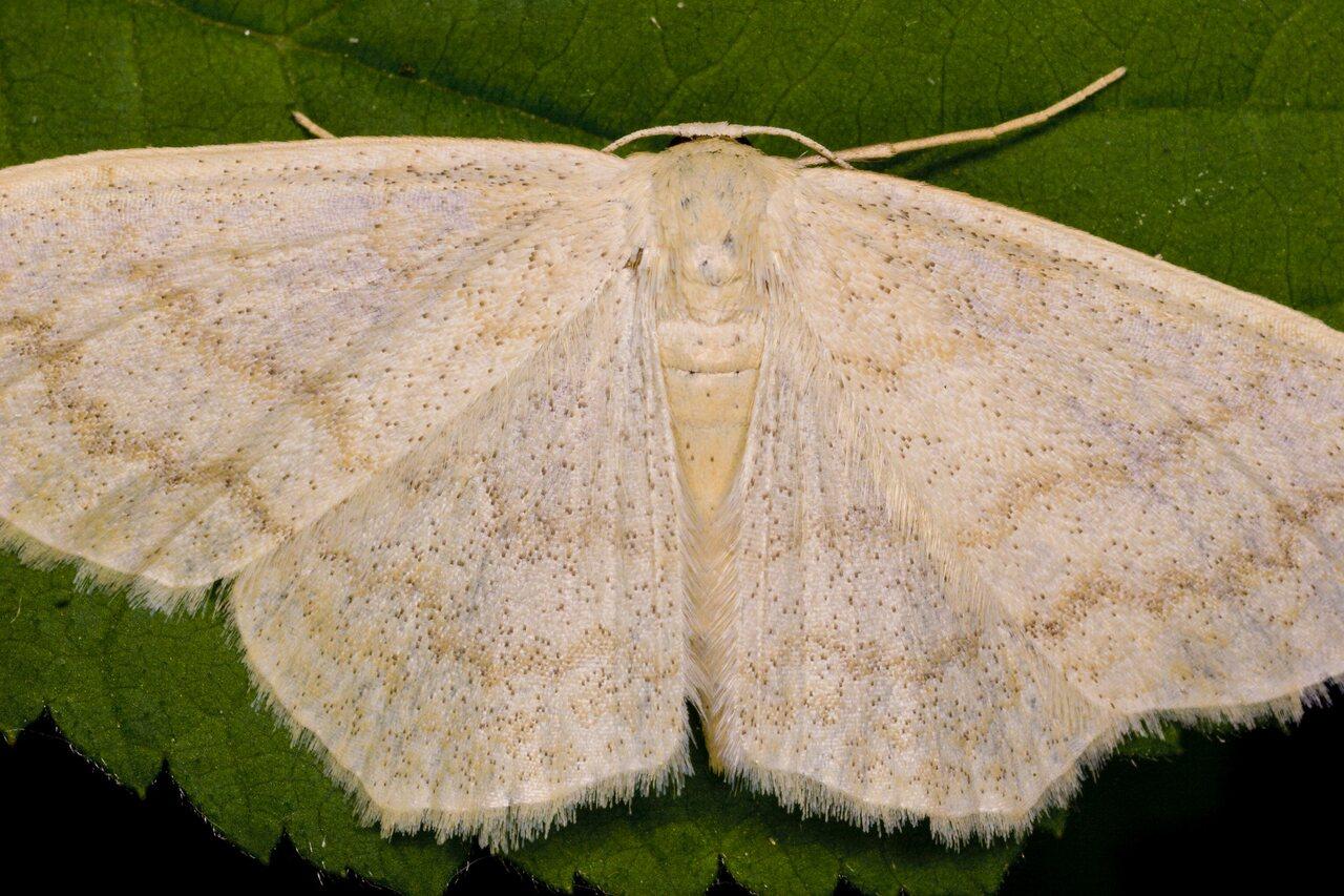 Scopula-floslactata-3388.jpg