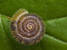 Hygromiidae · drėgmeniniai