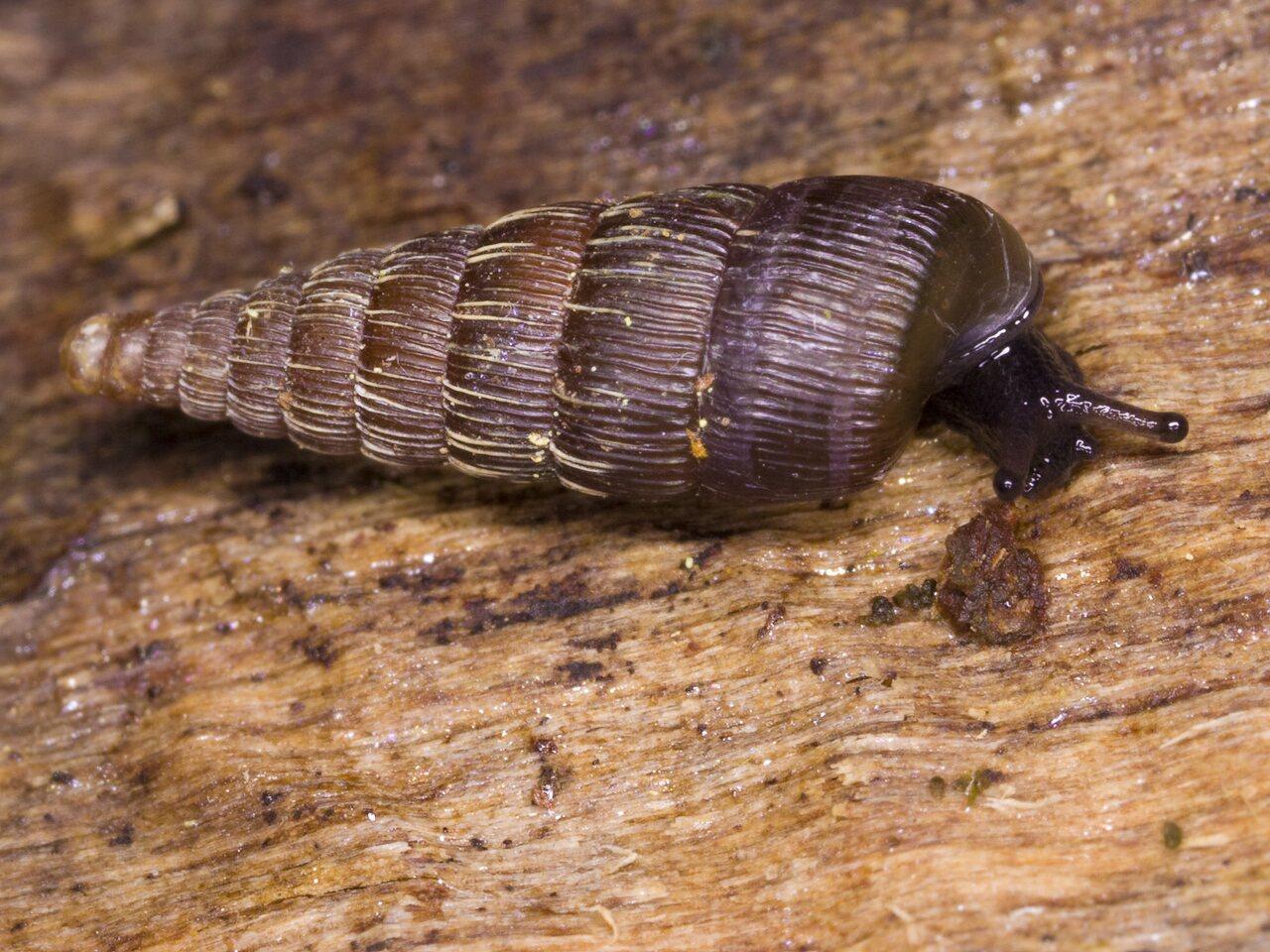 3397-Clausiliidae.jpg