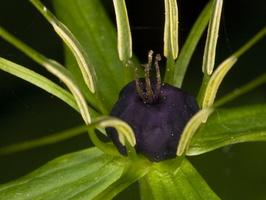 Paris quadrifolia, flower · keturlapė vilkauogė, žiedas