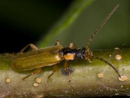 Rhagonycha testacea · minkštavabalis
