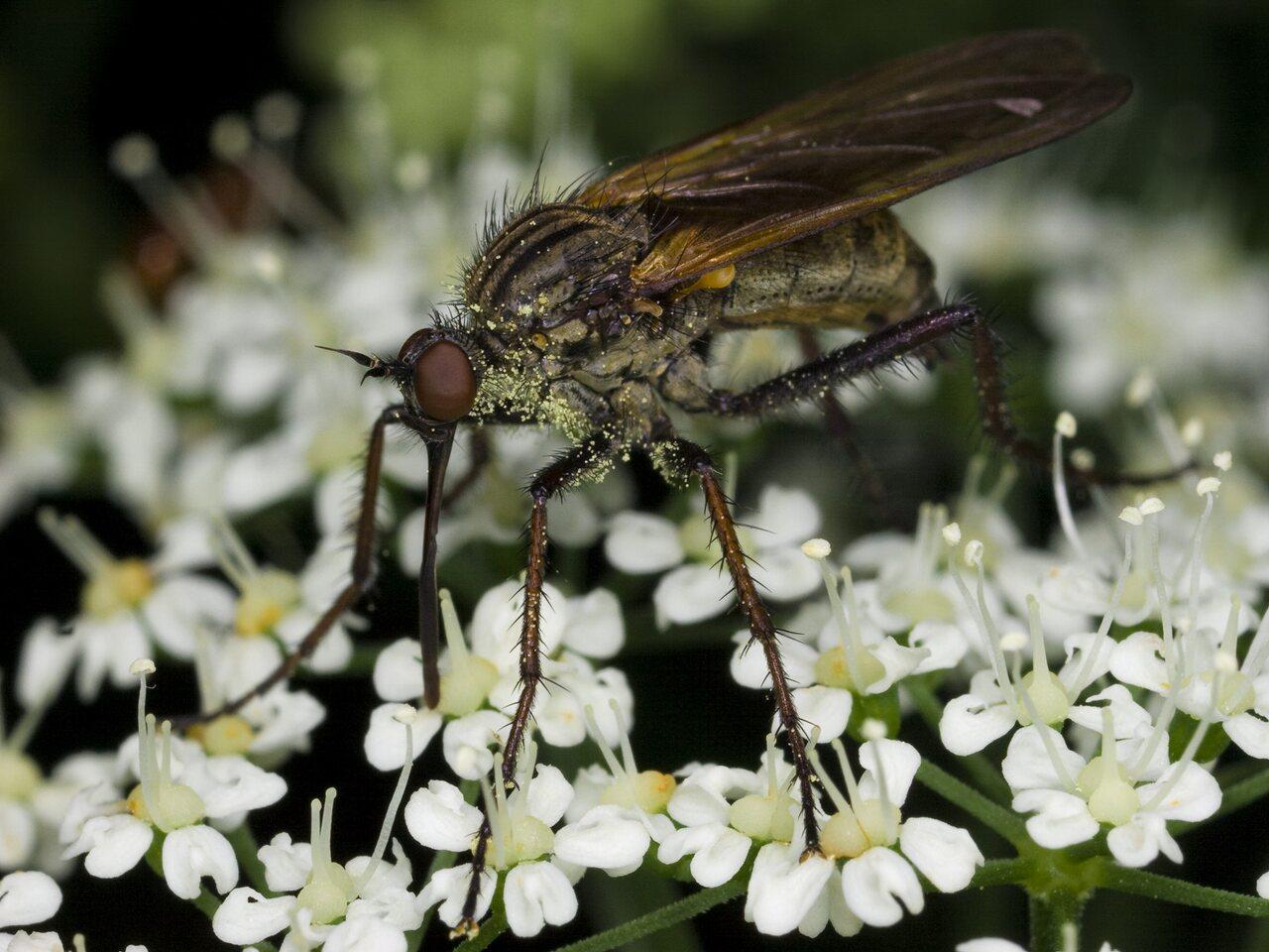 Empididae-3428.jpg