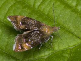 Choreutidae · baltadėmės lapsukinės kandys