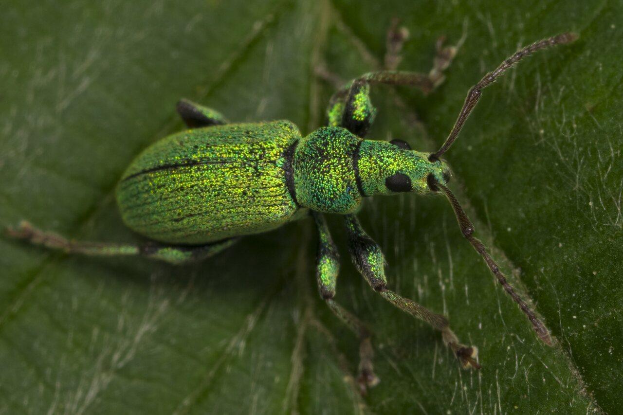 Phyllobius-argentatus-3441.jpg