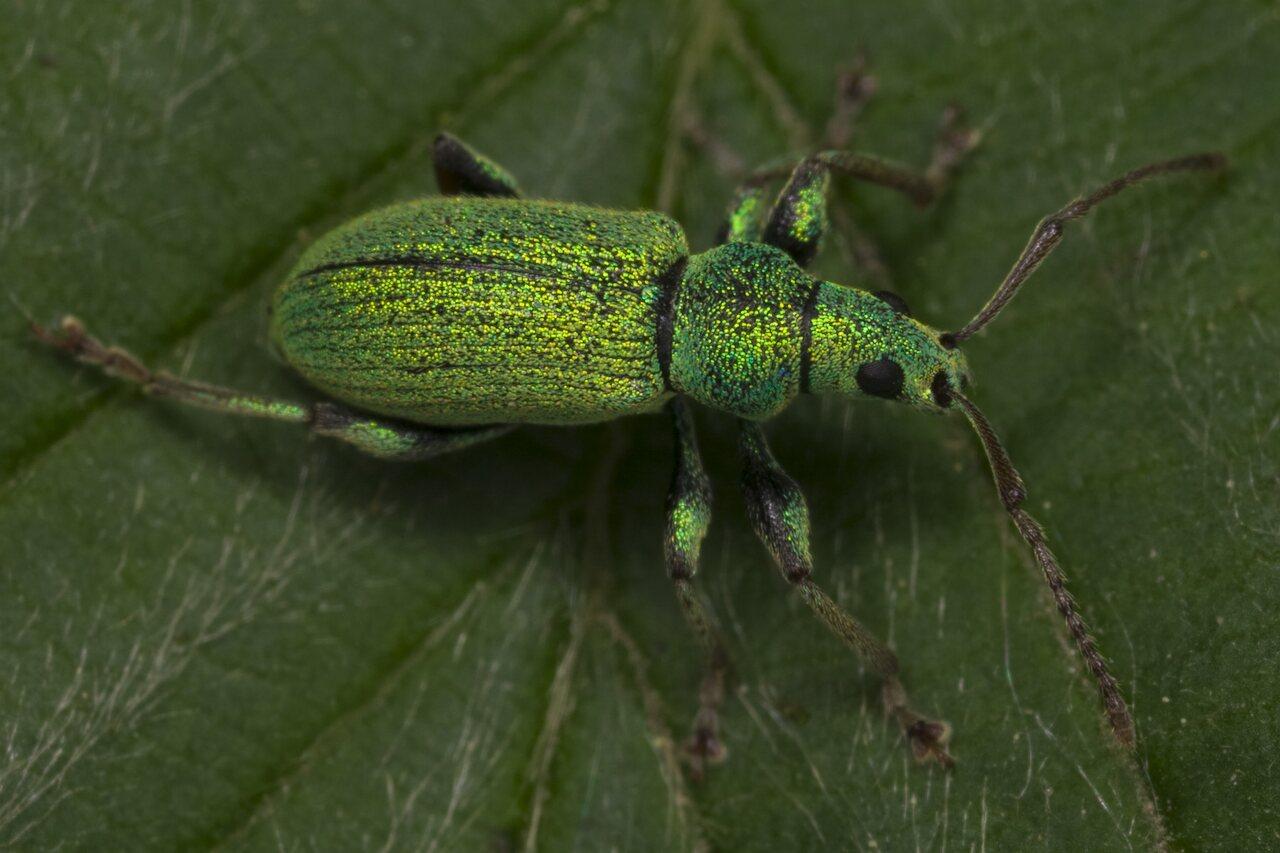 Phyllobius-argentatus-3442.jpg