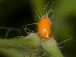 Chelidonium majus · didžioji ugniažolė