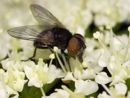 Diptera 3491