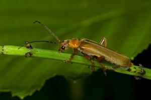 Cantharis pallida · minkštavabalis