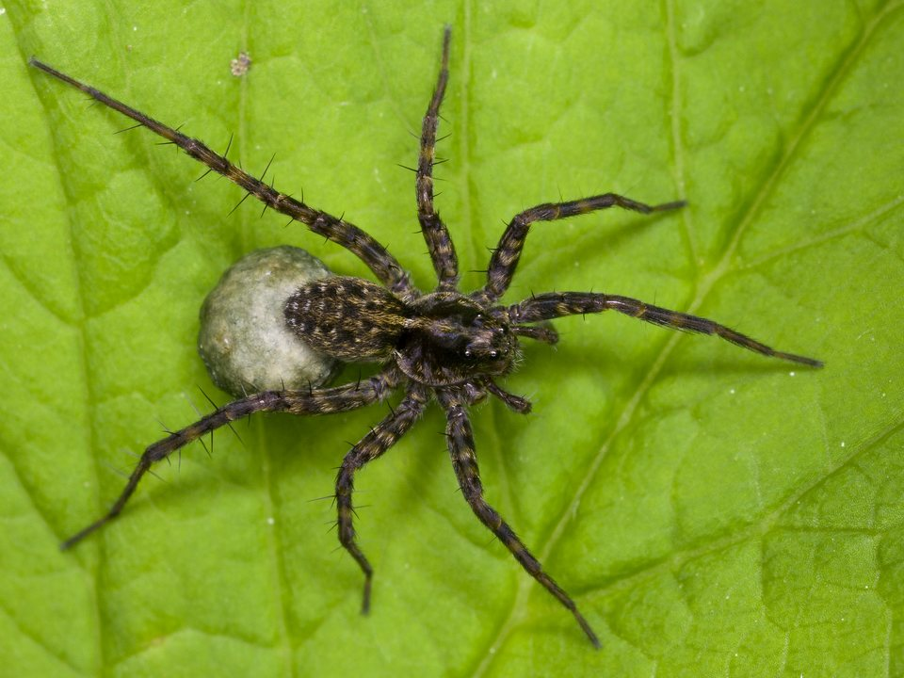 Lycosidae-3513.jpg