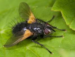 Zophomyia temula · dygliamusė
