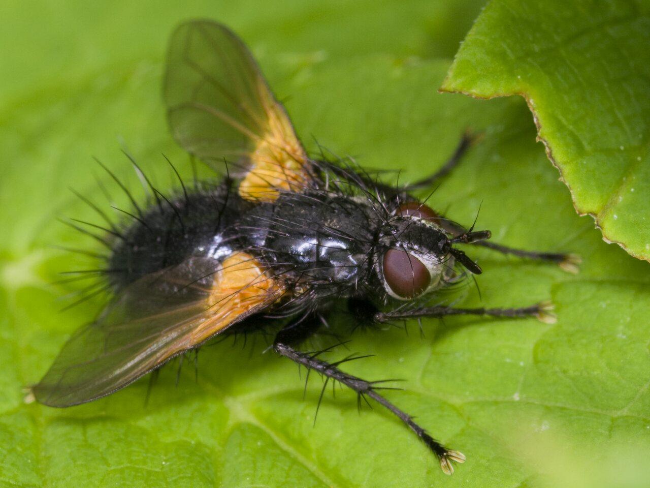 Zophomyia-temula-3517.jpg