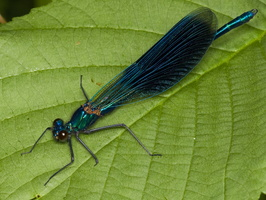 Calopteryx splendens male · blizgančioji gražutė ♂