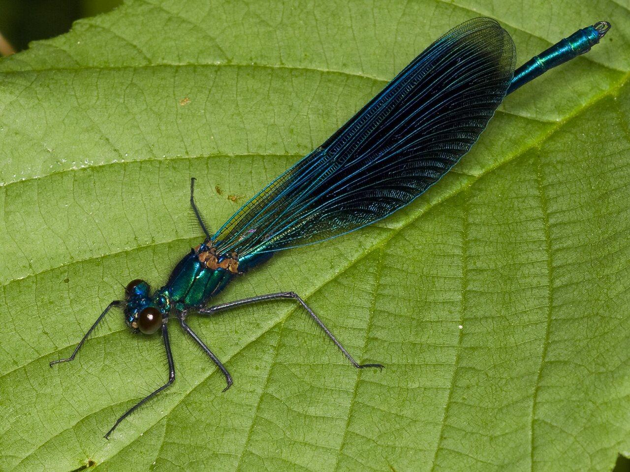 Calopteryx-splendens-3543.jpg