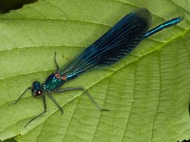 Calopterygidae · gražutės
