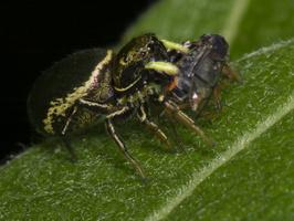 Heliophanus auratus · auksaspalvis žėrūnas