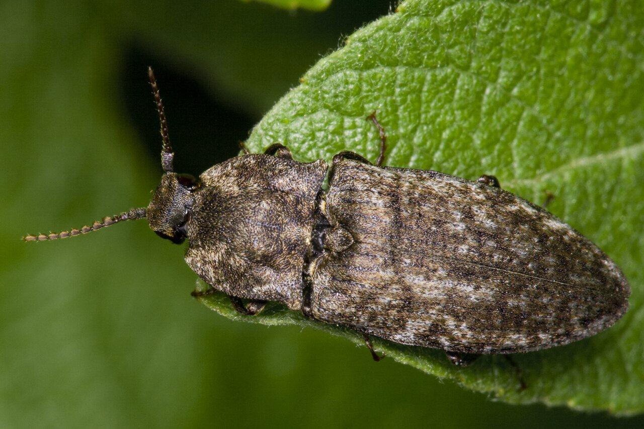 Agrypnus-murinus-3554.jpg