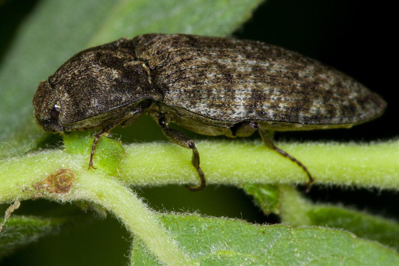 Agrypnus-murinus-3555.jpg