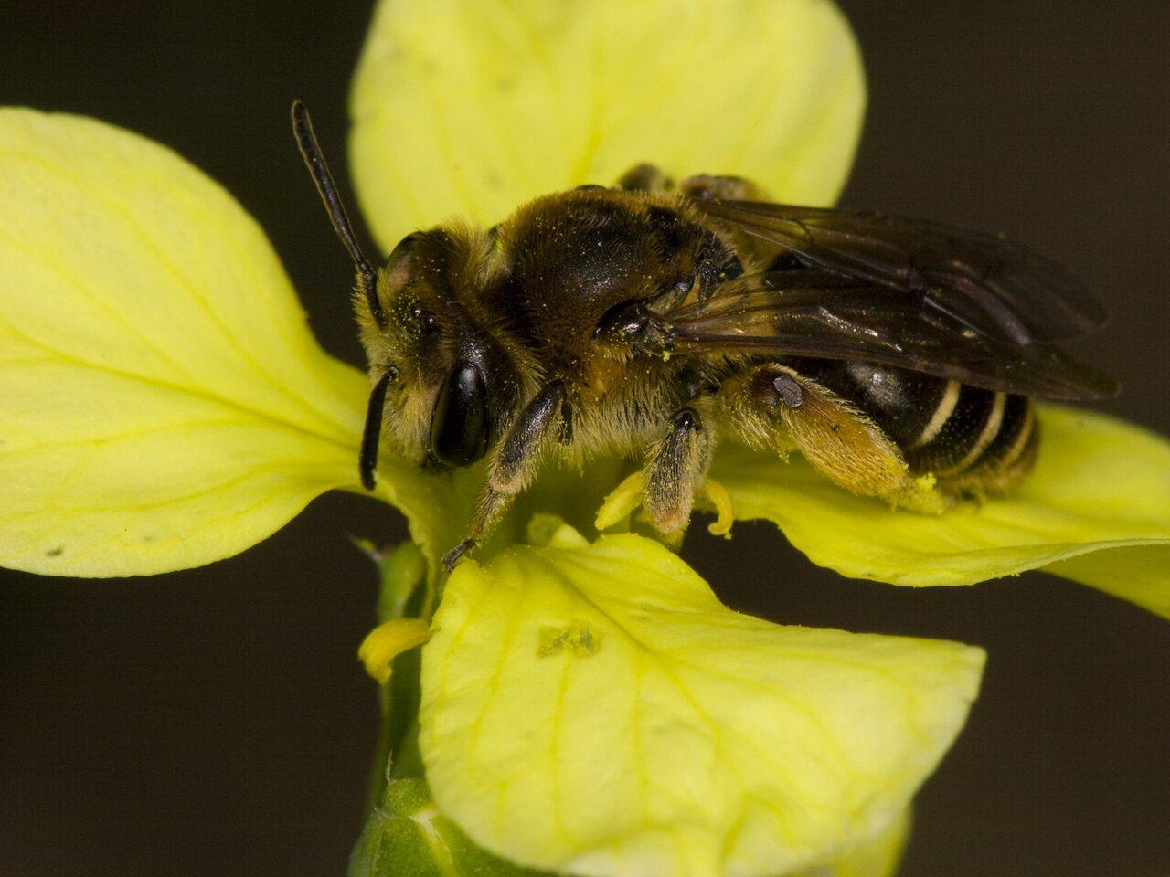 Apidae-3559.jpg