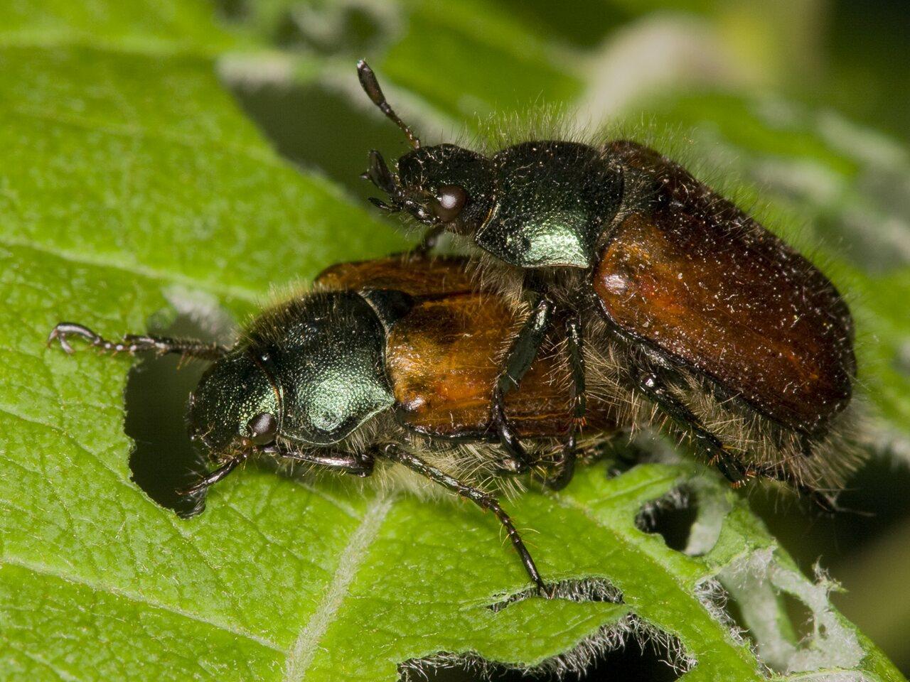 Phyllopertha-horticola-3567.jpg