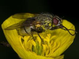 Diptera 3584